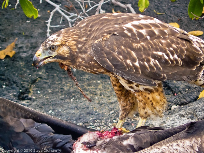 Galapagos Hawk with Prey